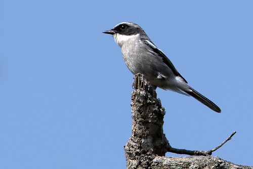 Thailand: Gray Bush Chat 8555