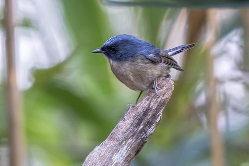 Doi Lang, Thailand: Slatyblue Flycatcher 6747
