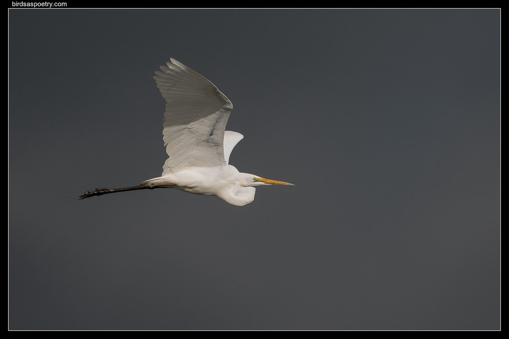 Great Egret: Rider on the Storm