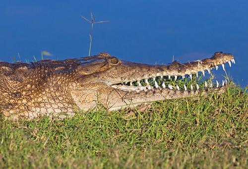 Smile on a crocodile