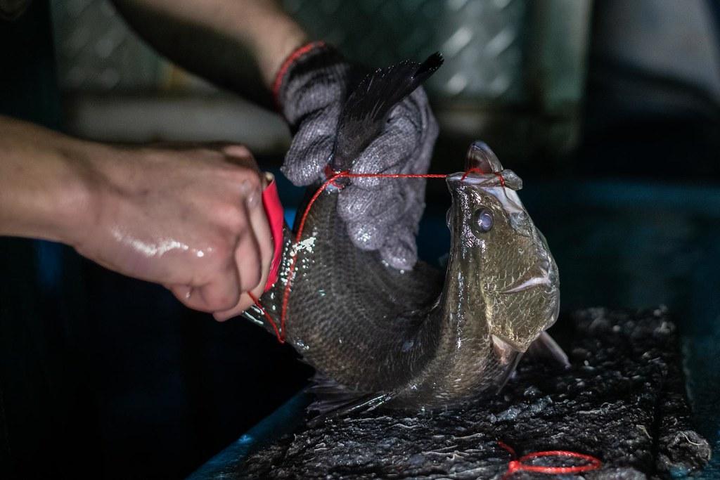 動社表示,被綑綁的鱸魚一方面承受身體的疼痛,一方面開合鰓蓋、嘴巴,痛苦掙扎呼吸,隨著攤商販售時間長短,有的甚至達8~12小時才死亡,而被穿線而過的鰓蓋和尾部的傷口,更可能因為被攤販反覆潑水、浸水而有微生物感染的食安風險。(圖:We Animals提供)