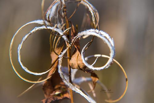 Fireweed in fall