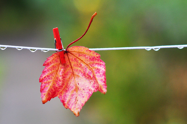 Red autumn leaf attached to clothes line with mini peg in the rain