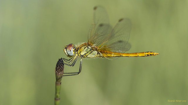 Sympetrum fonscolombii. Young male.