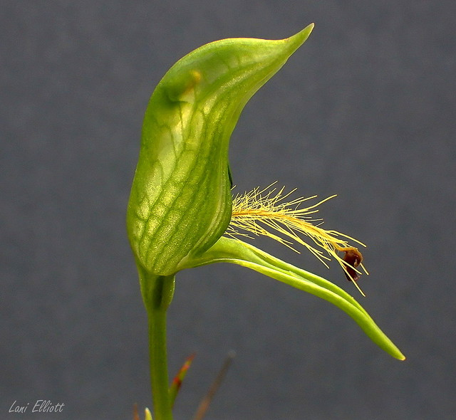 Bearded Greenhood Orchid