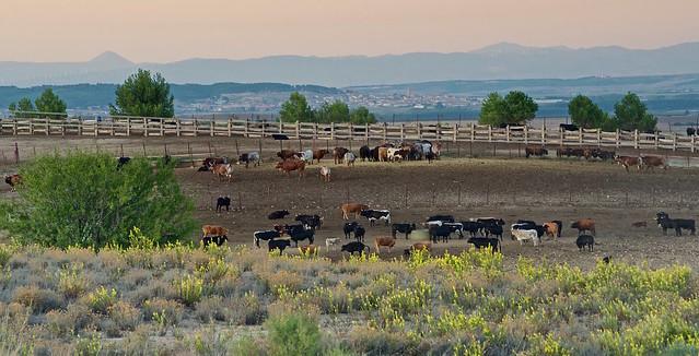 Vacas 🐄 (explore 282)