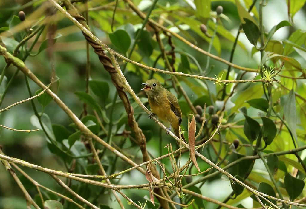 Ochre-bellied Flycatcher --- Mionectes oleagineus