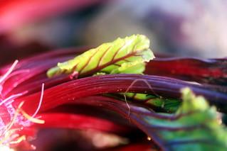 Young Radish leaf