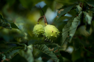 Close-up of chestnuts on a tree
