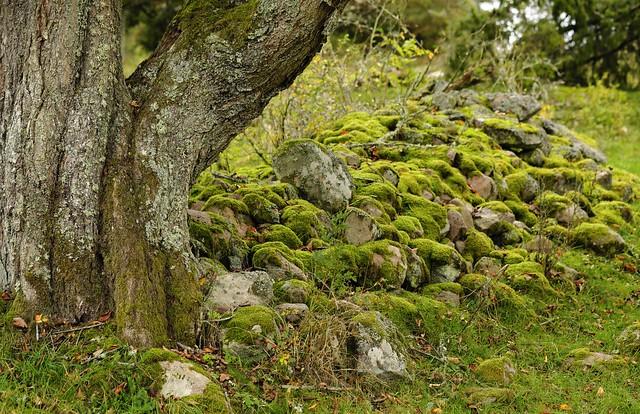 Oldest, oak or cairn?