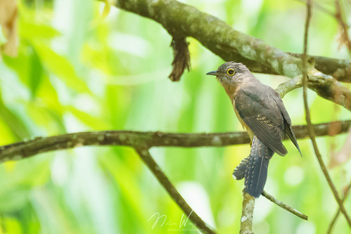 Rusty-breasted Cuckoo (Cacomantis sepulcralis) 銹胸叢杜鵑