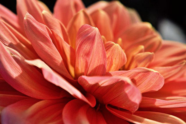 Dallying in Dahlias #1