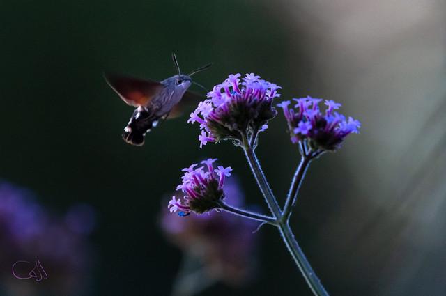 Papillon-colibri