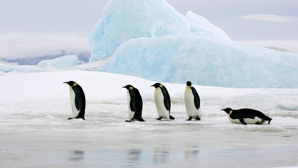 Emperor penguins walking on sea ice