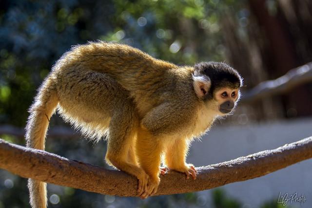 Saïmiri ou singe écureuil_4470-1