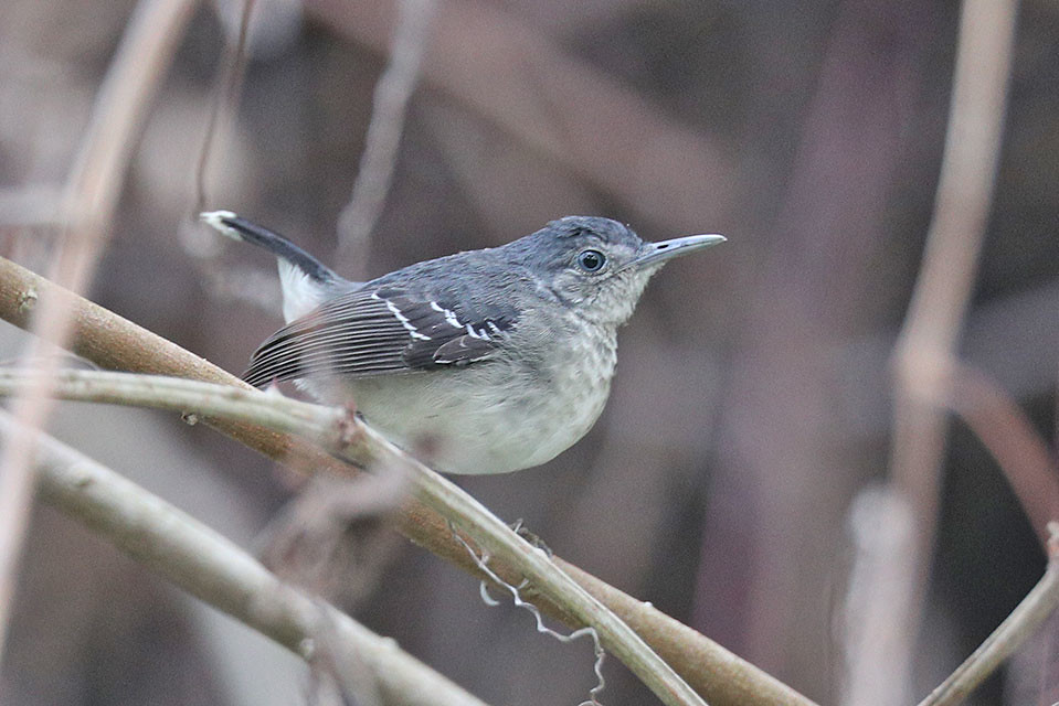 Band tailed Antbird-Hypocnemoides maculicauda
