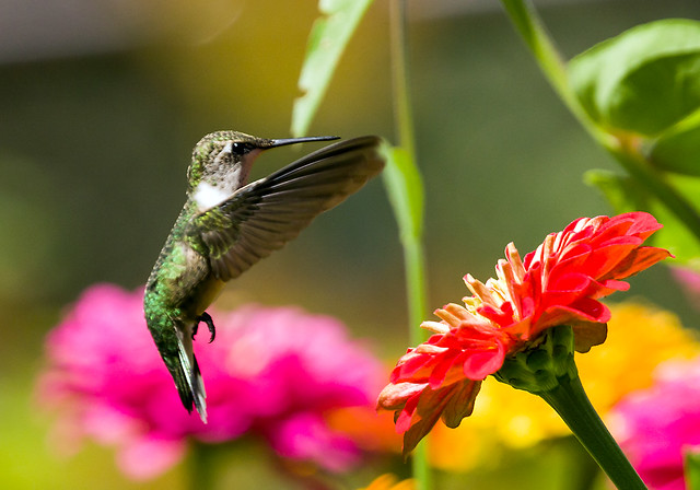 0P7A4268  Ruby-throated Hummingbird,Canada