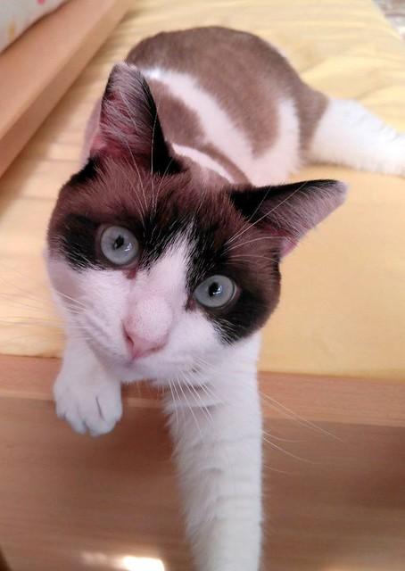 Dora, gata cruce Snowshoe dulce y habladora esterilizada, nacida en Marzo´18, en adopción. Valencia. ADOPTADA. 48866296072_0df24cbaf5_z