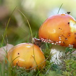 Flugsvampar - av evisdotter