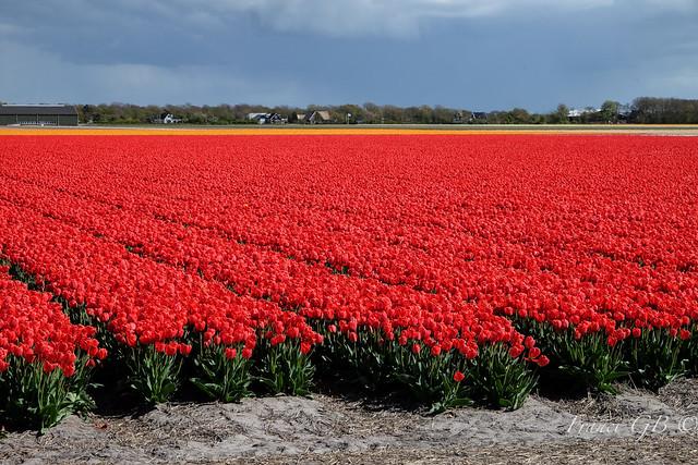 Tulipani rossi-