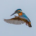kingfisher in a hover