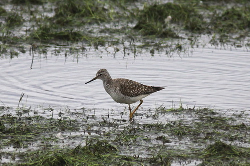 Lesser Yellowlegs (Tringa flavipes), Aldcliffe Marshes, Lancashire. 26th October 2012. IMG_3383