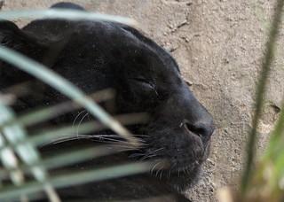 Panther (melanistic jaguar), Chester Zoo, UK
