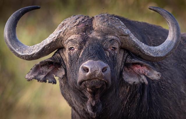 Buffalo a Mara Main Reserve 30th July 19 1DXII