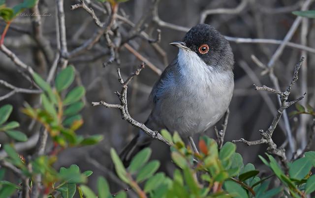 Sardinian Warbler (explored)