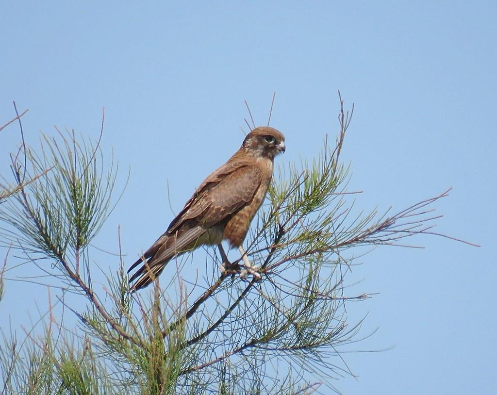 Falco berigora 3