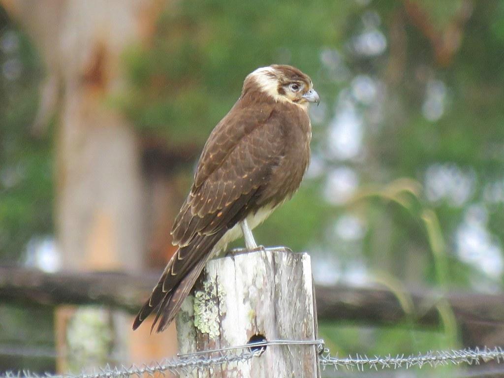 Falco berigora 10