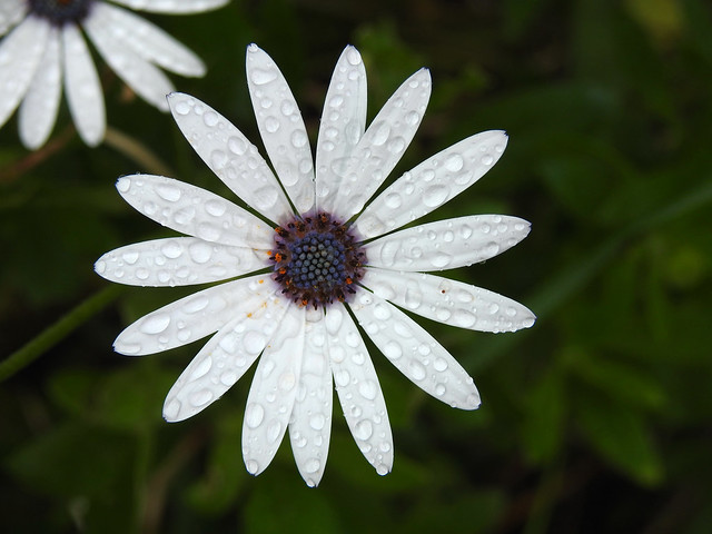 White Daisy and Drops