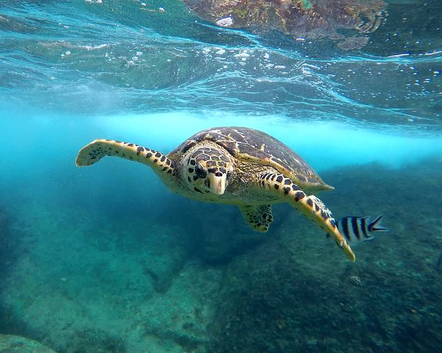 Tortugas de Akumal en Riviera Maya