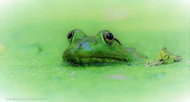 frog lite