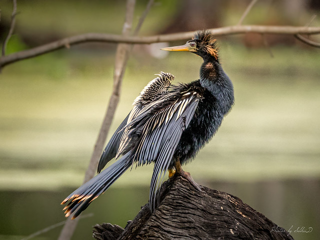 Anhinga, Brazos Bend State Park