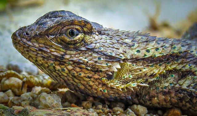 Western Fence Lizard Profile