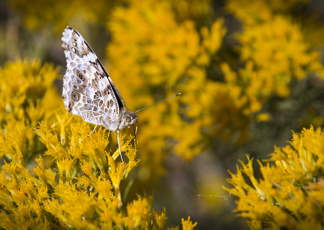Butterflies and Flower IV