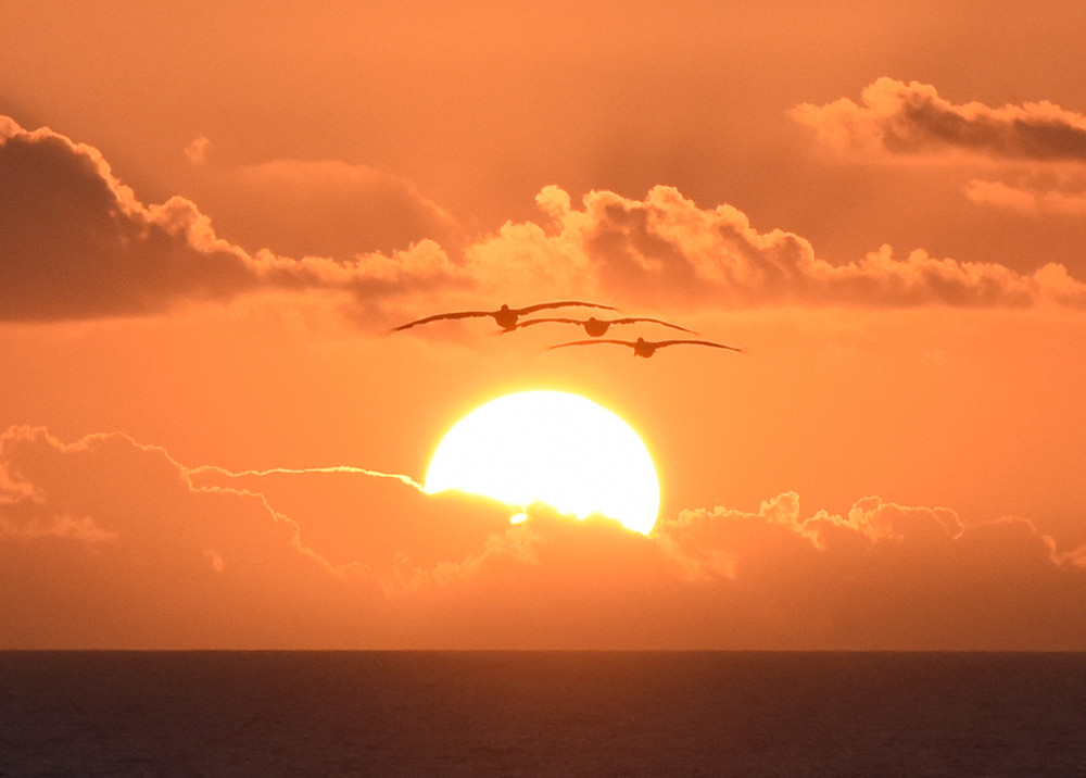 Pelican Sunrise - Texas Coast