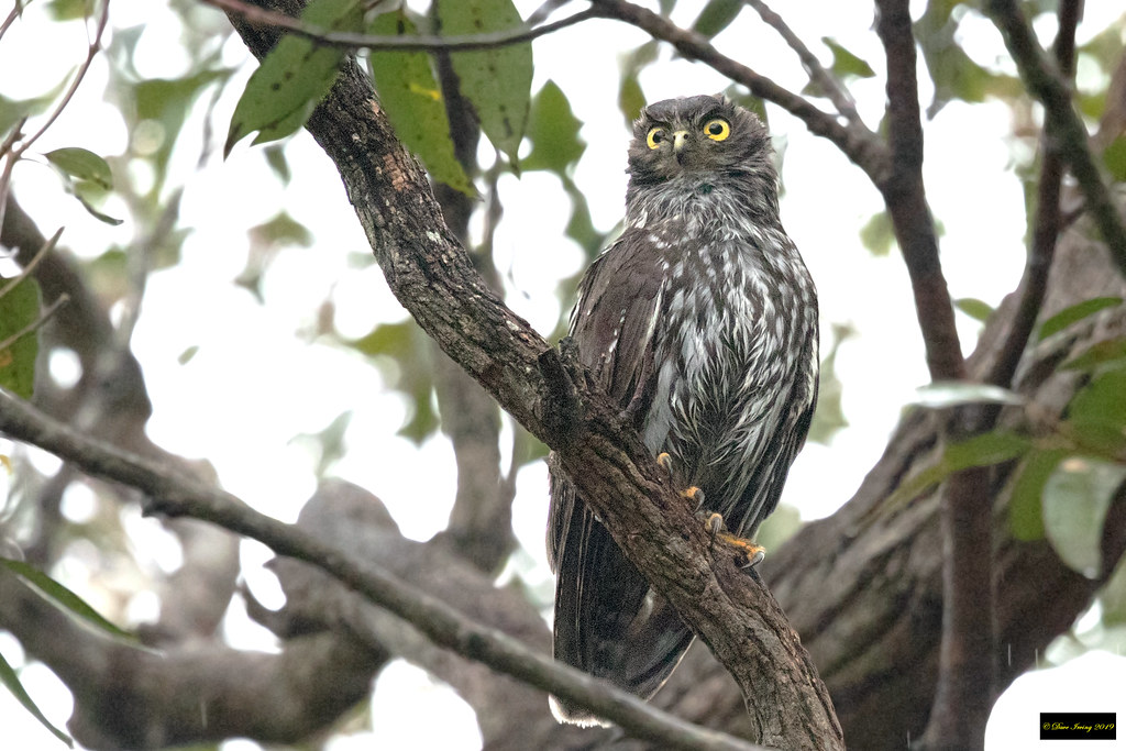 Barking Owl (Ninox connivens connivens)