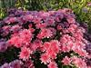 Good morning sunshine 🌞☕️🌸 Chrysanthemum by Dusan Baksa