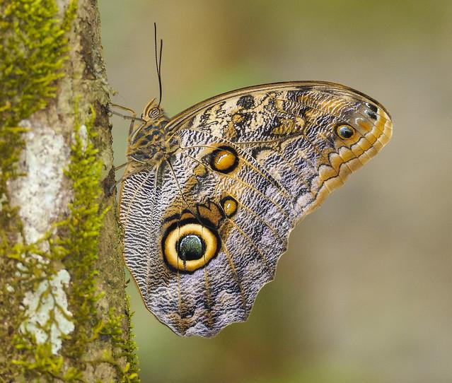 Dark Giant Owl - Caligo brasiliensis sulanus (Nymphalidae, Satyrinae, Brassolini) 110p-3175