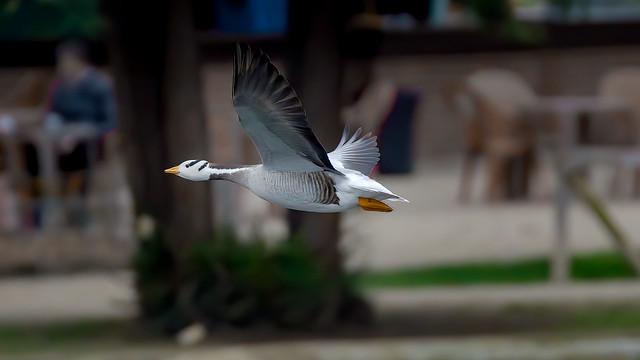 bar-headed geese (3/3)