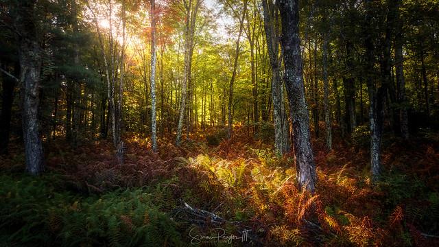 Komorebi #4 Woods Aglow