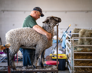 Portrait of a sheep with its farmer.