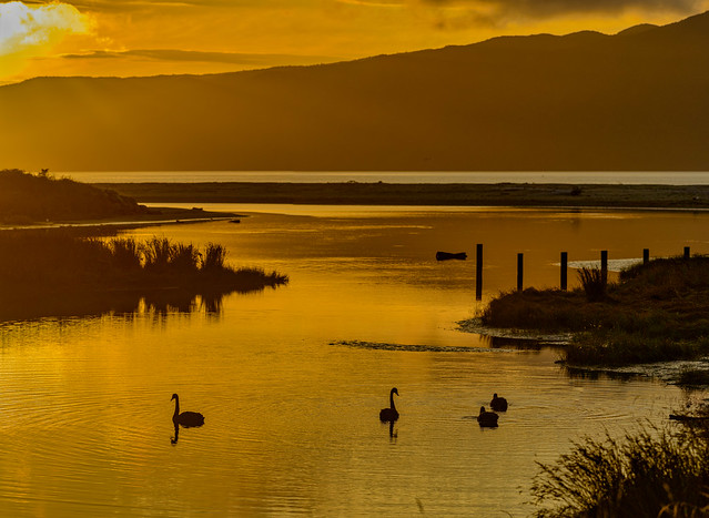 Swans at Sunset - Waikanae Beach, NZ