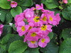 A Pink Petunia in the Annual and Perennial Borders - Fitzroy Gardens, East Melbourne