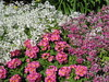 Primulas and Petunias in the Annual and Perennial Borders - Fitzroy Gardens, East Melbourne