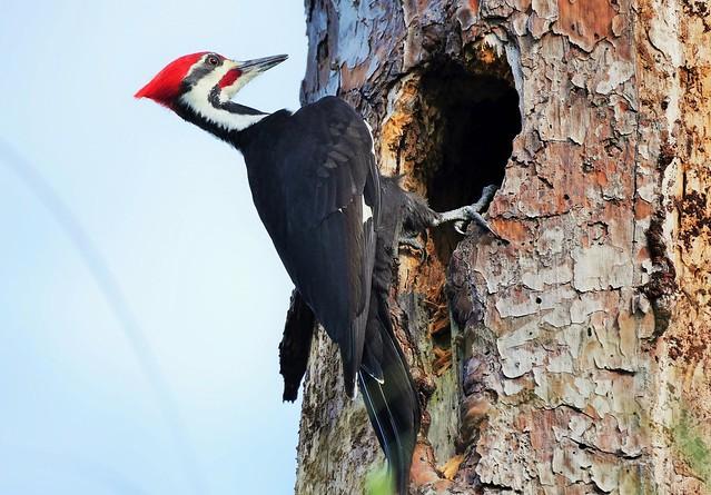 Male Pileated Woodpecker (Dryocopus pileatus)