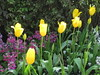 A Row of Golden Yellow Tulips in the Annual and Perennial Borders - Fitzroy Gardens, East Melbourne