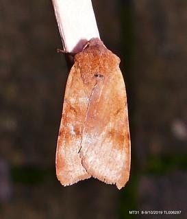 Beaded Chestnut  IR P1540992
